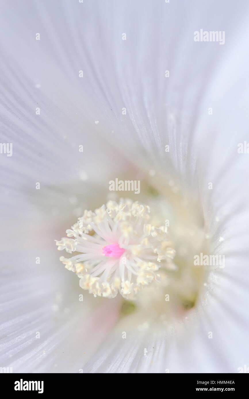 Beautiful  heart of lavatera - Stock Image