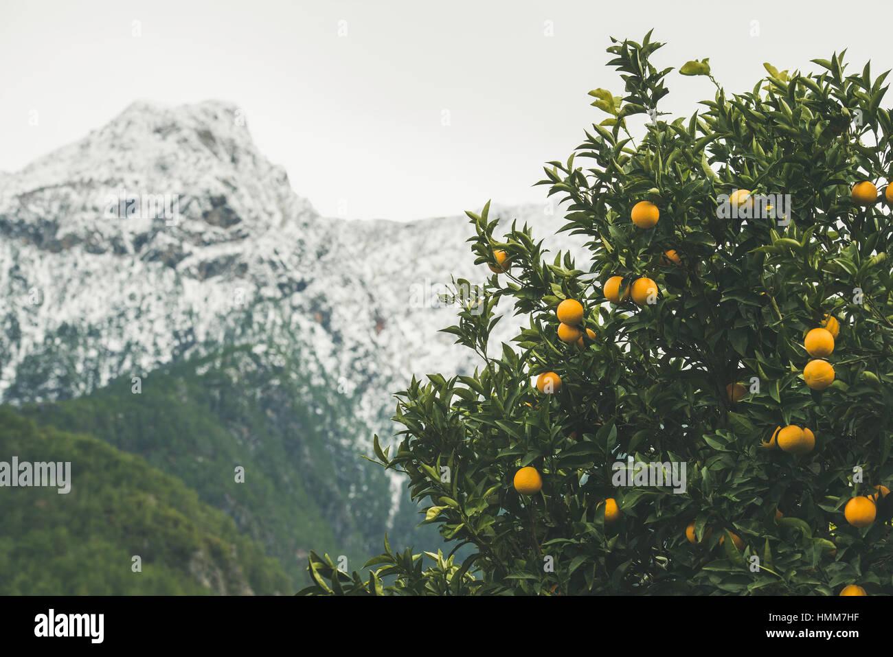 Orange trees with ripe oranges in mountain garden, Alanya, Turkey - Stock Image