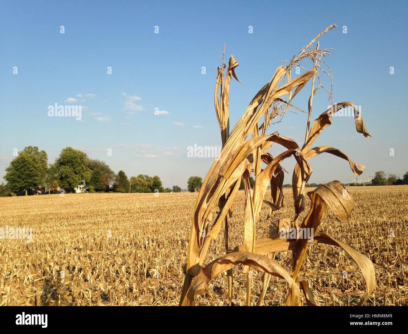Survivor Corn Stalk In Stubble Field - Stock Image