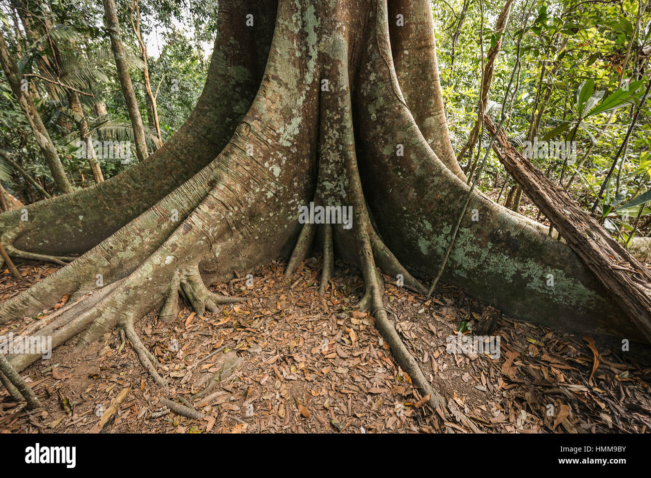 Base Of Old Big Tree In Tropical Evergreen Forest Which Having Big Stock Photo Alamy ··· china cheap production evergreen tropical artificial leaves bulk. https www alamy com stock photo base of old big tree in tropical evergreen forest which having big 133212127 html