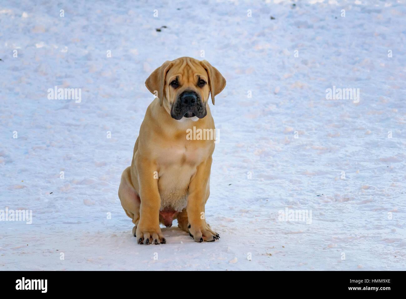 Dog Boerboel / Boerbull / South African Mastiff Stock Photo