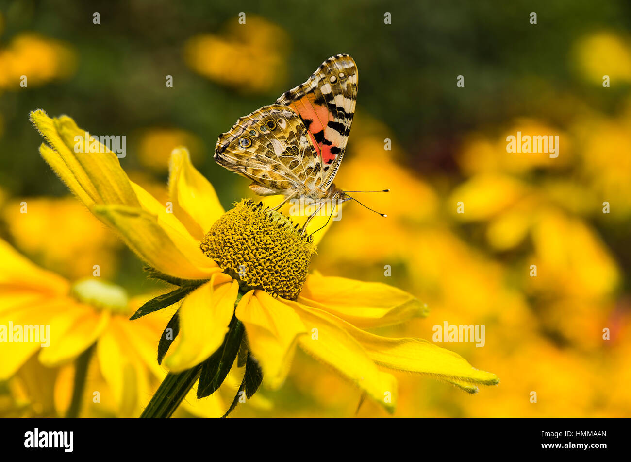A Painted Lady butterfly (Vanessa cardui) from the family of the Nymphalidae on a yellow zinnia. - Stock Image