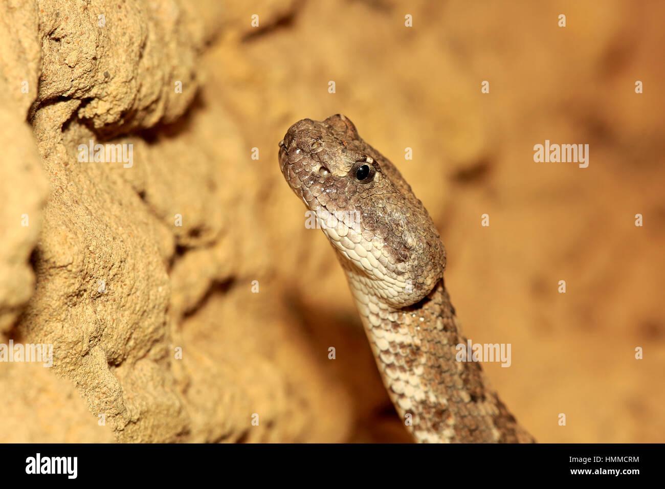 Prairie Rattlesnake, (Crotalus viridis), adult portrait, USA, Northamerica - Stock Image