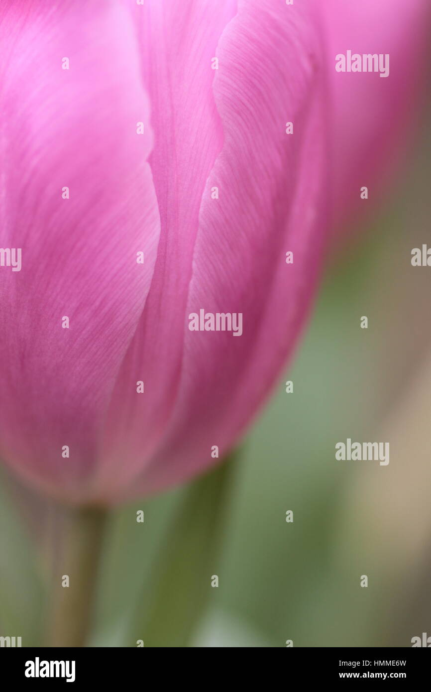 Shallow focus on pink tulip - Stock Image