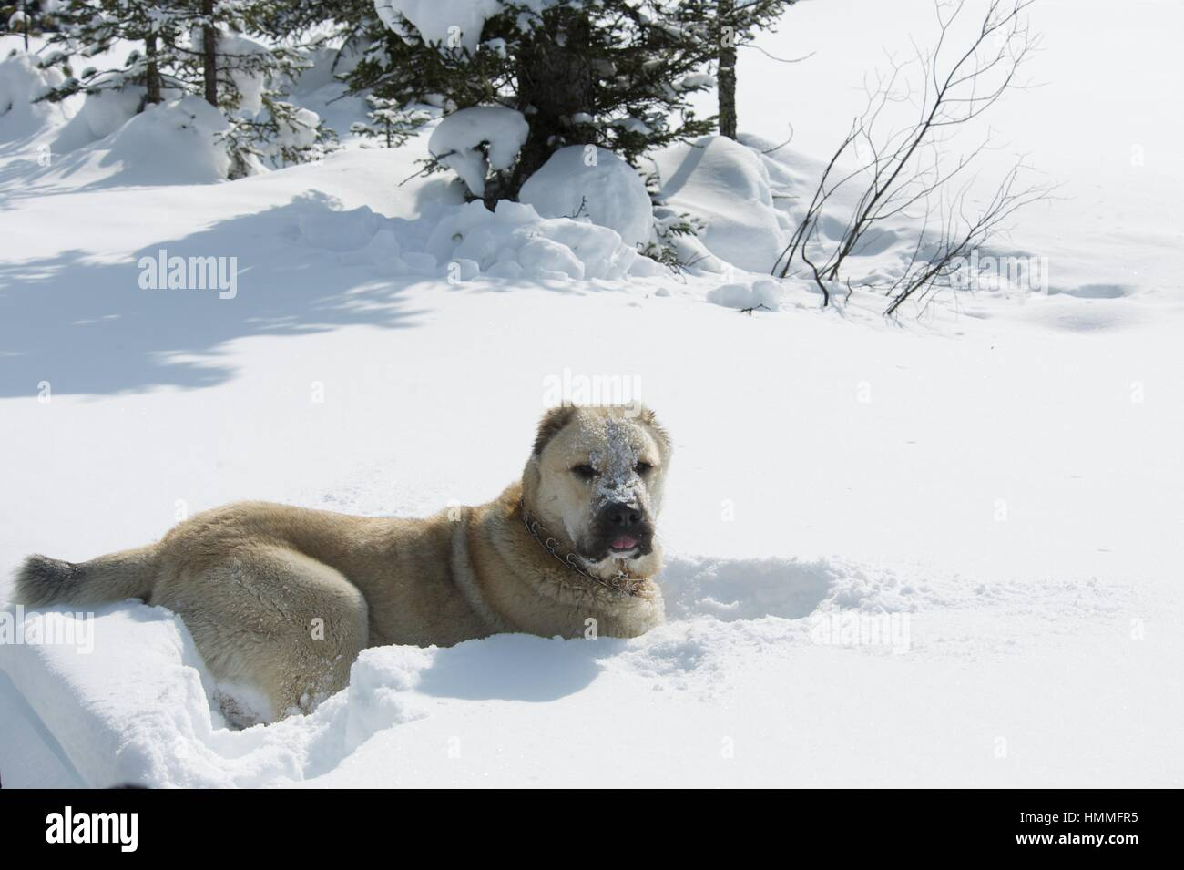 Big white dog for a walk in the woods - Stock Image