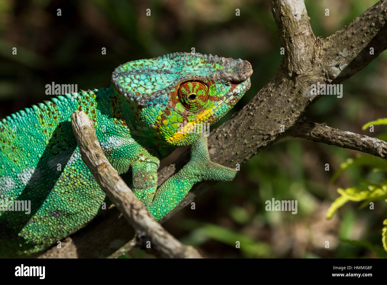 Madagascar, Nosy Be (Big Island) off the northwest coast of mainland Madagascar. Lemuria Land, Nosy Be panther chameleon Stock Photo
