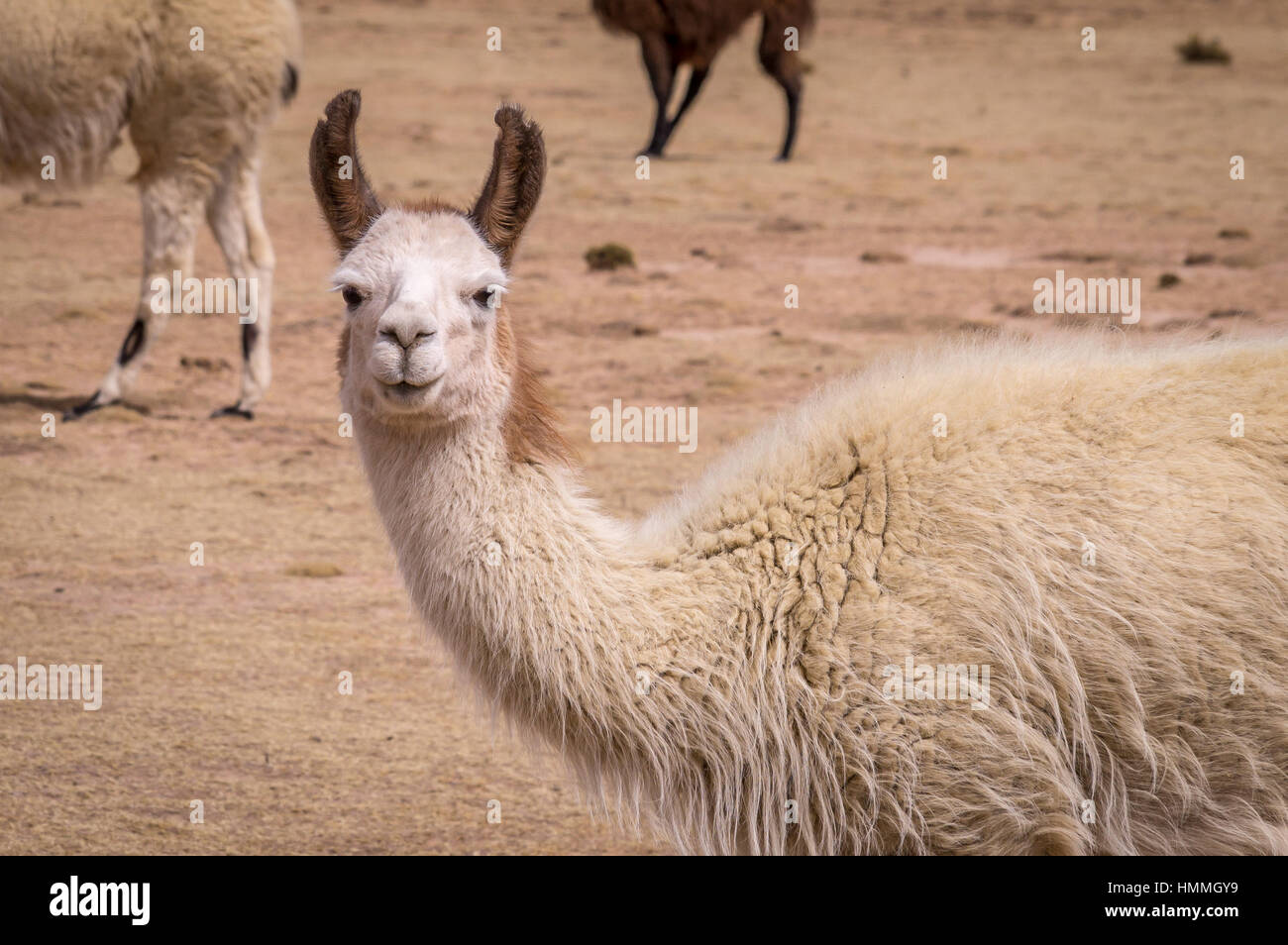 Funny portrait of Lama Alpaca in altiplano - Stock Image