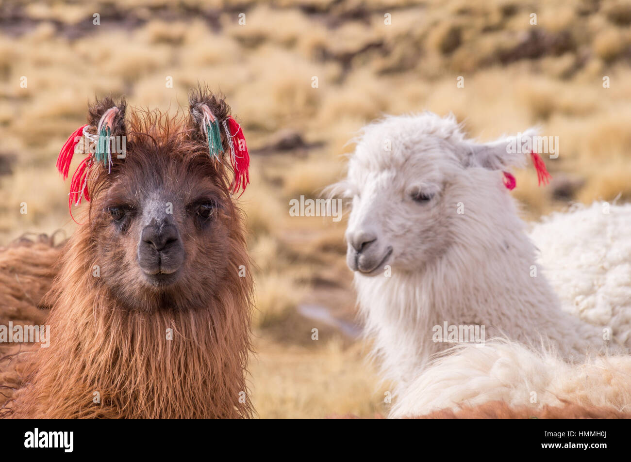 Portrait of Lamas Alpacas with colorful decoration in altiplano - Stock Image