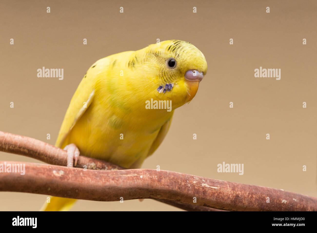 Parakeets - Stock Image