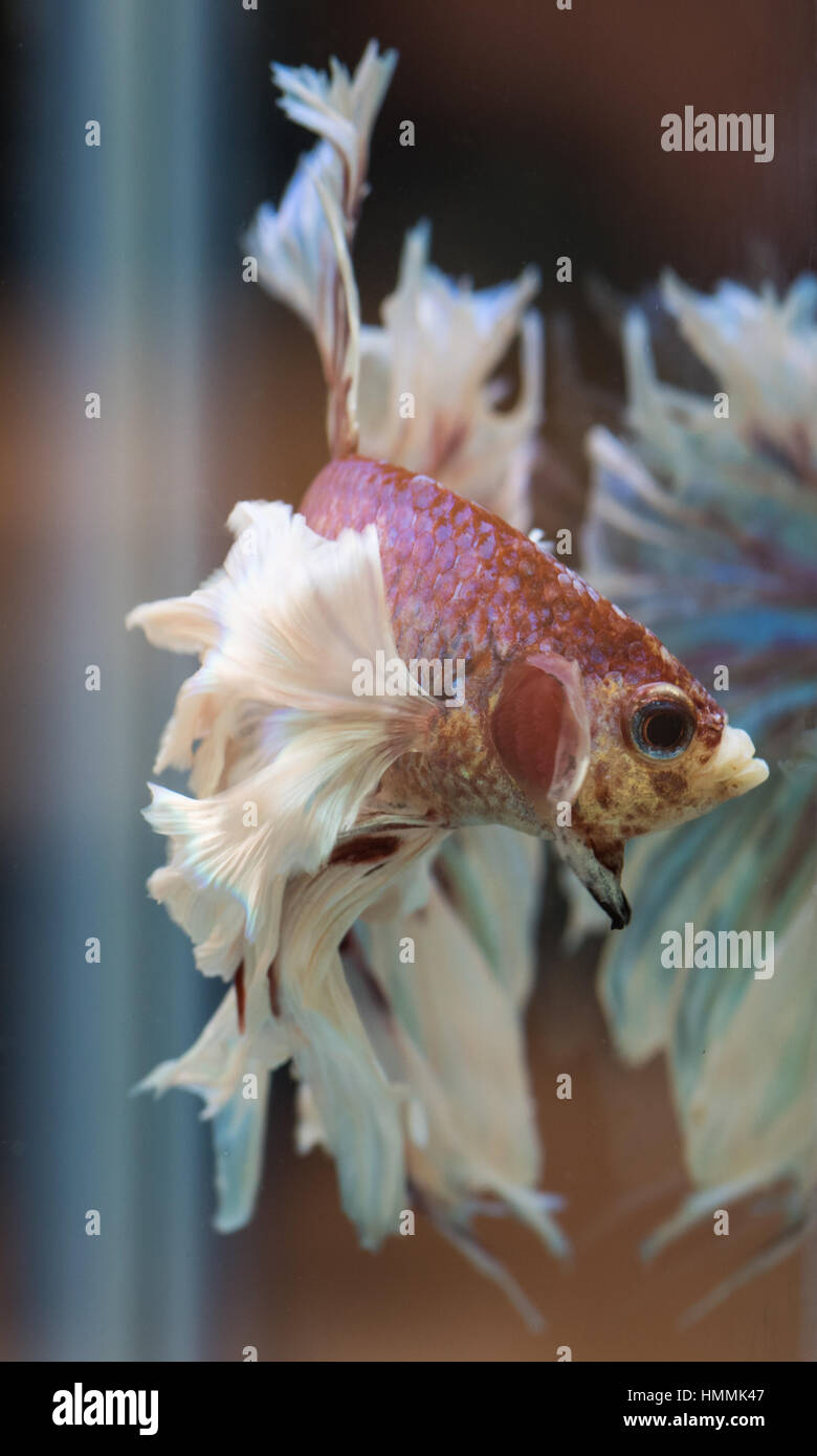 Betta Splendens (Siamese Fighting Fish). Lavender half-moon dumbo male, 'flaring' at his reflection. - Stock Image