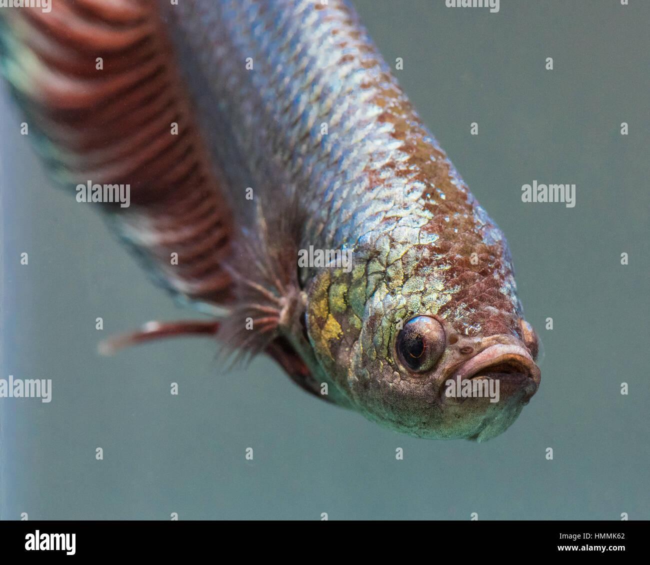Betta Splendens (Siamese Fighting Fish)  Giant Male Half