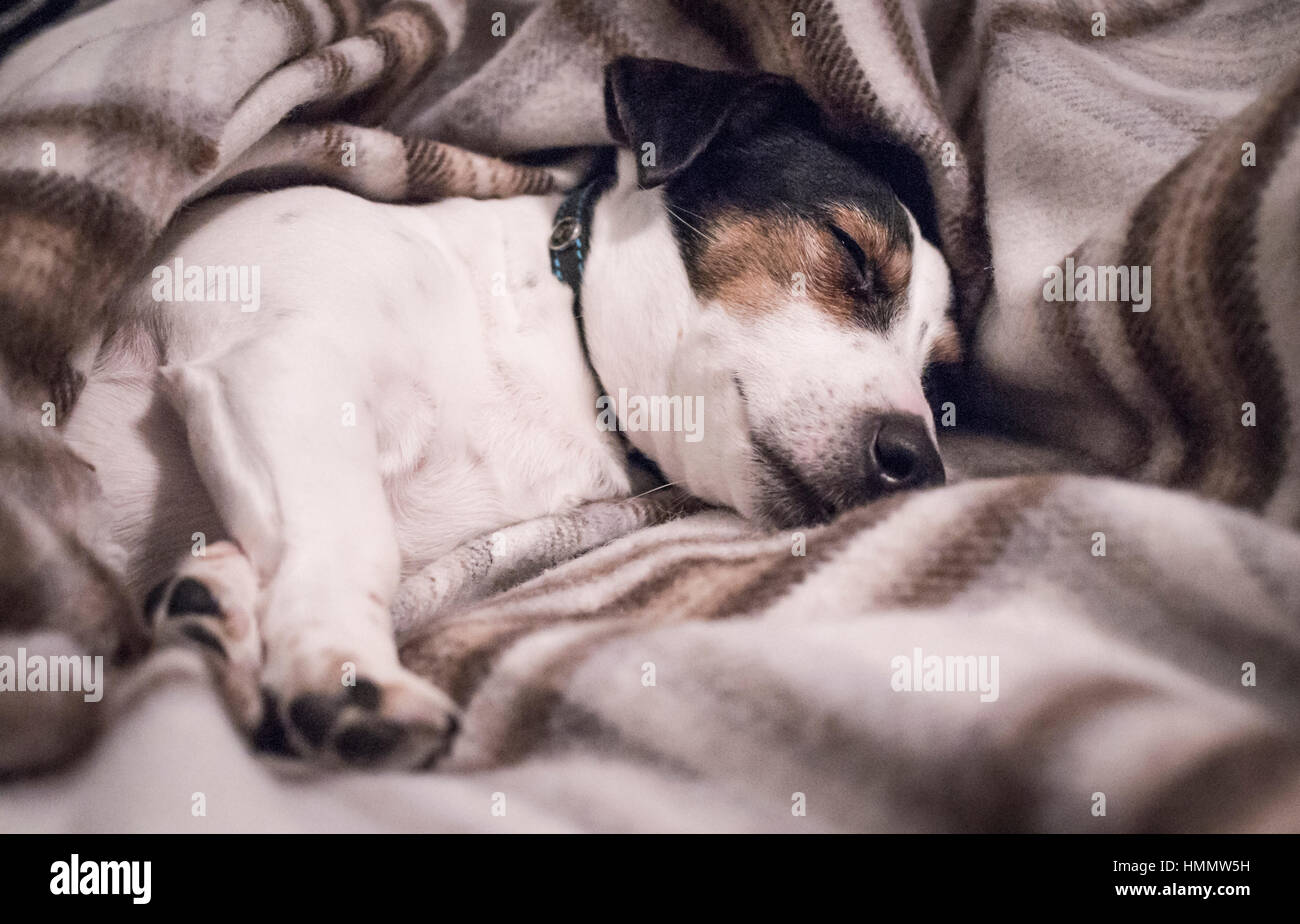 Black white and tan Jack Russell Terrier pet dog asleep on his side wrapped in a brown check woollen blanket with - Stock Image