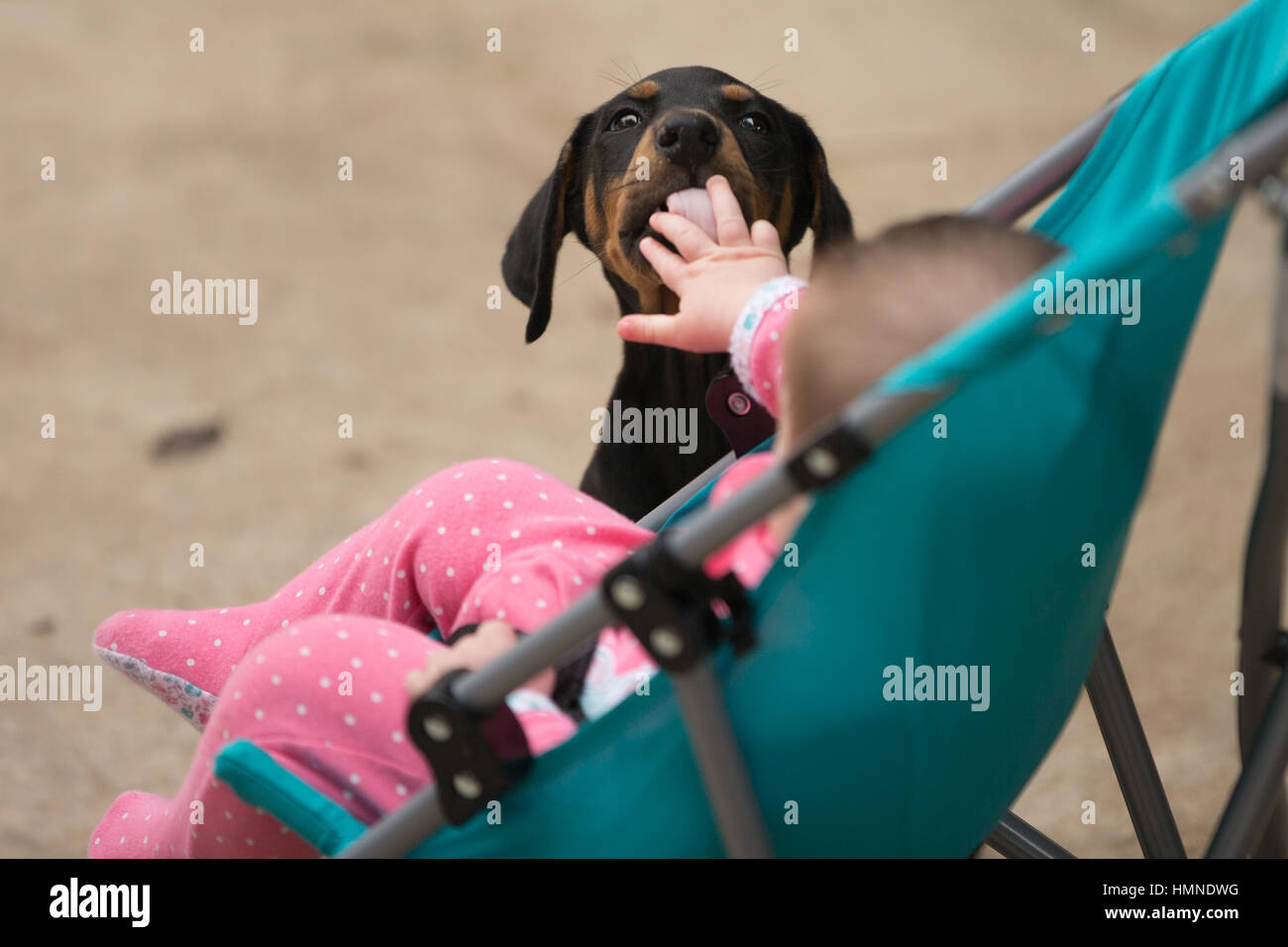 A curious puppy takes notice of an infant's outreached hand. - Stock Image