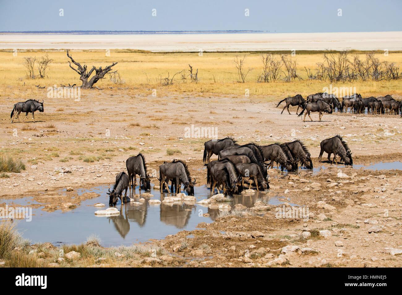 Common Wildebeest, Connochaetes taurinus, Salvadora Waterhole, Namibia, Africa, by Monika Hrdinova/Dembinsky Photo Assoc Stock Photo