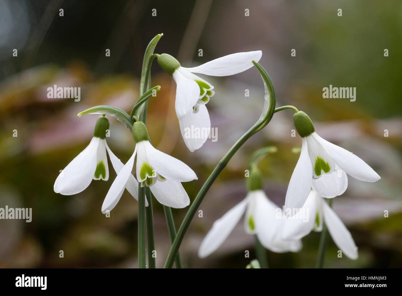 February flowers of the hybrid snowdrop, Galanthus x hybridus 'David Baker' - Stock Image