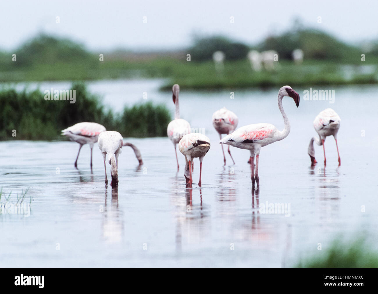 Greater flamingo,(Phoenicopterus roseus), Velavadar National Park,Velavadar,Gujarat, India - Stock Image