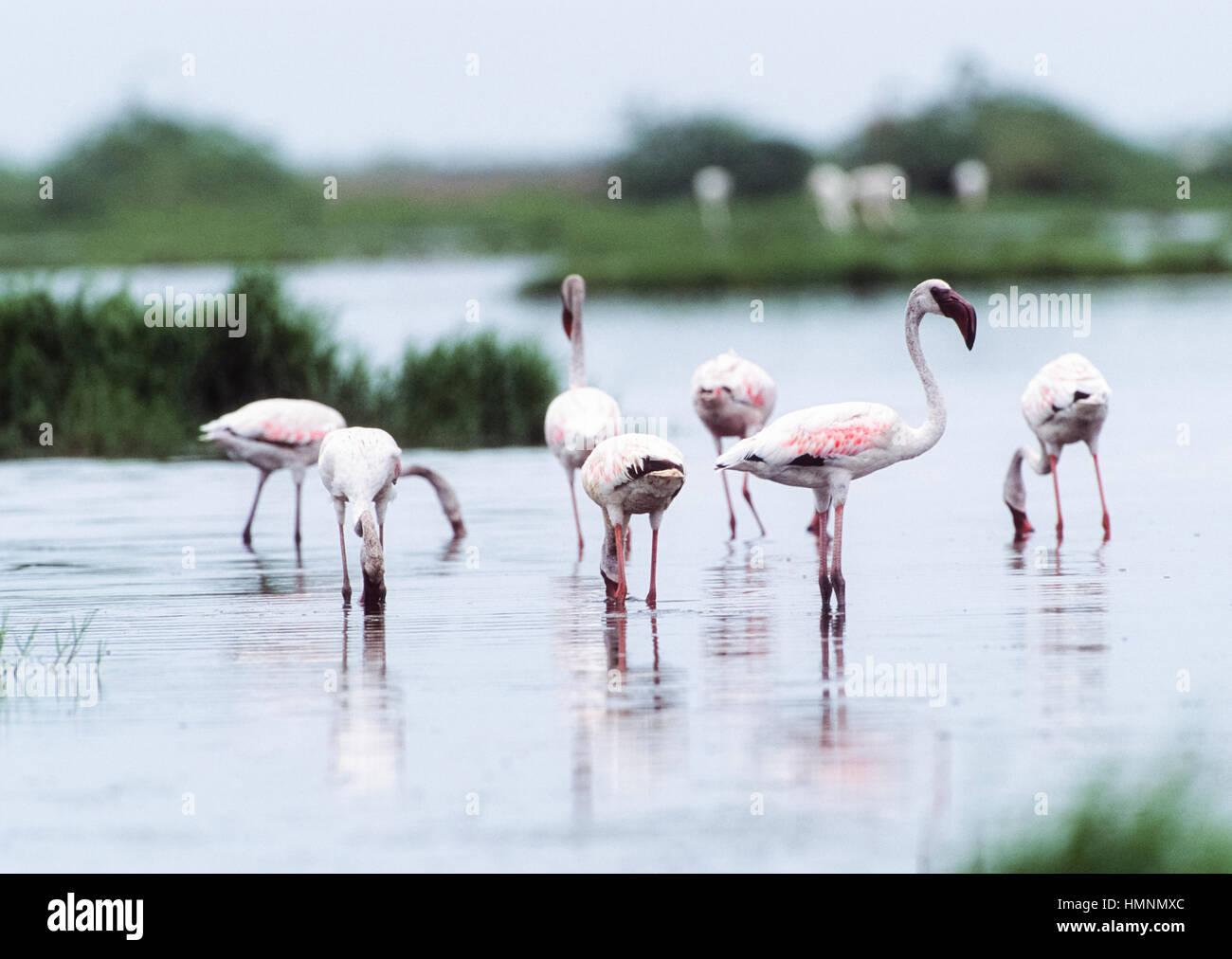 Greater flamingo,(Phoenicopterus roseus), Velavadar National Park,Velavadar,Gujarat, India - Stock Image