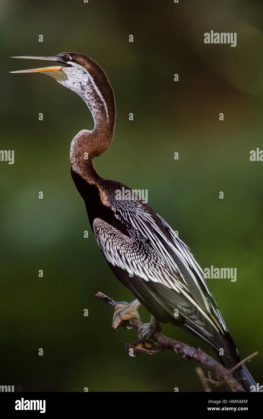 Oriental darter or Indian darter, (Anhinga melanogaster), cooling down with beak open,Keoladeo Ghana National Park,Bharatpur,Rajasthan, - Stock Image