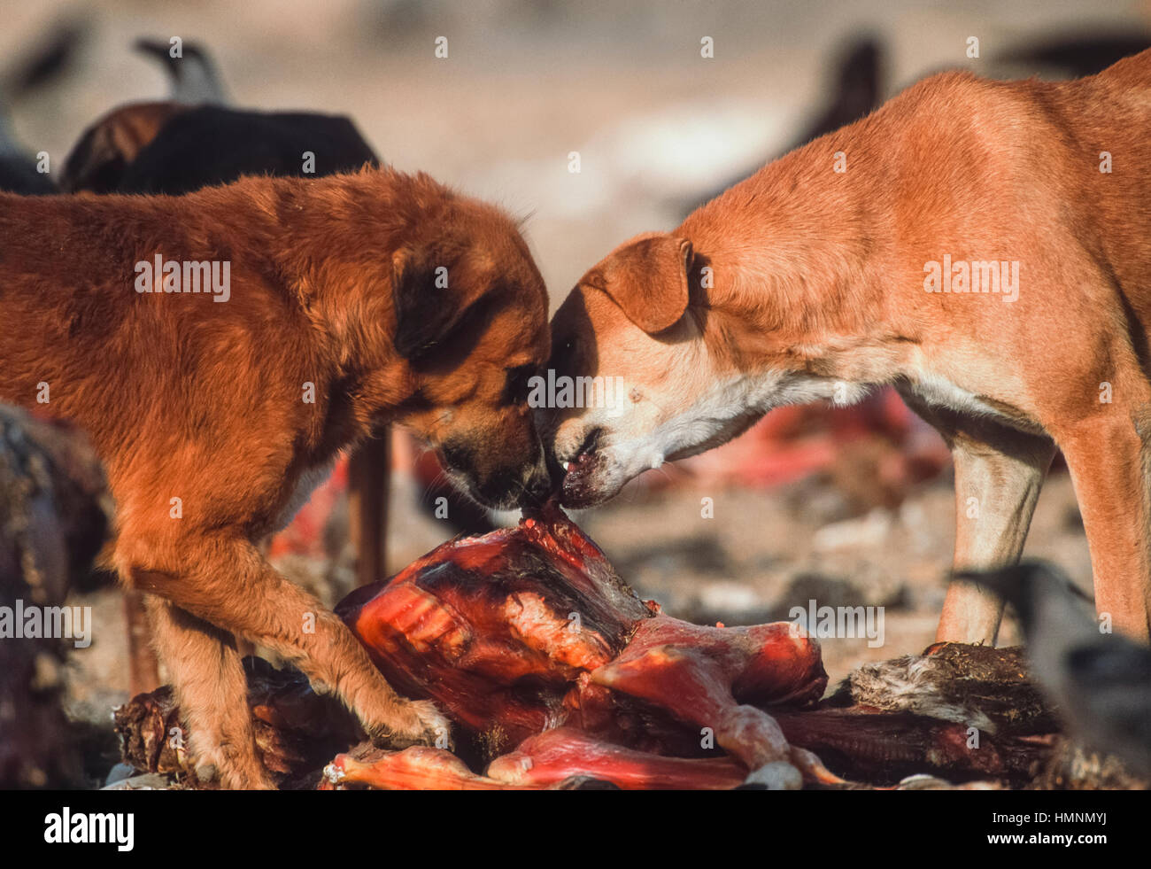 Feral dogs scavenging around an animal waste dump, Rajasthan, India - Stock Image