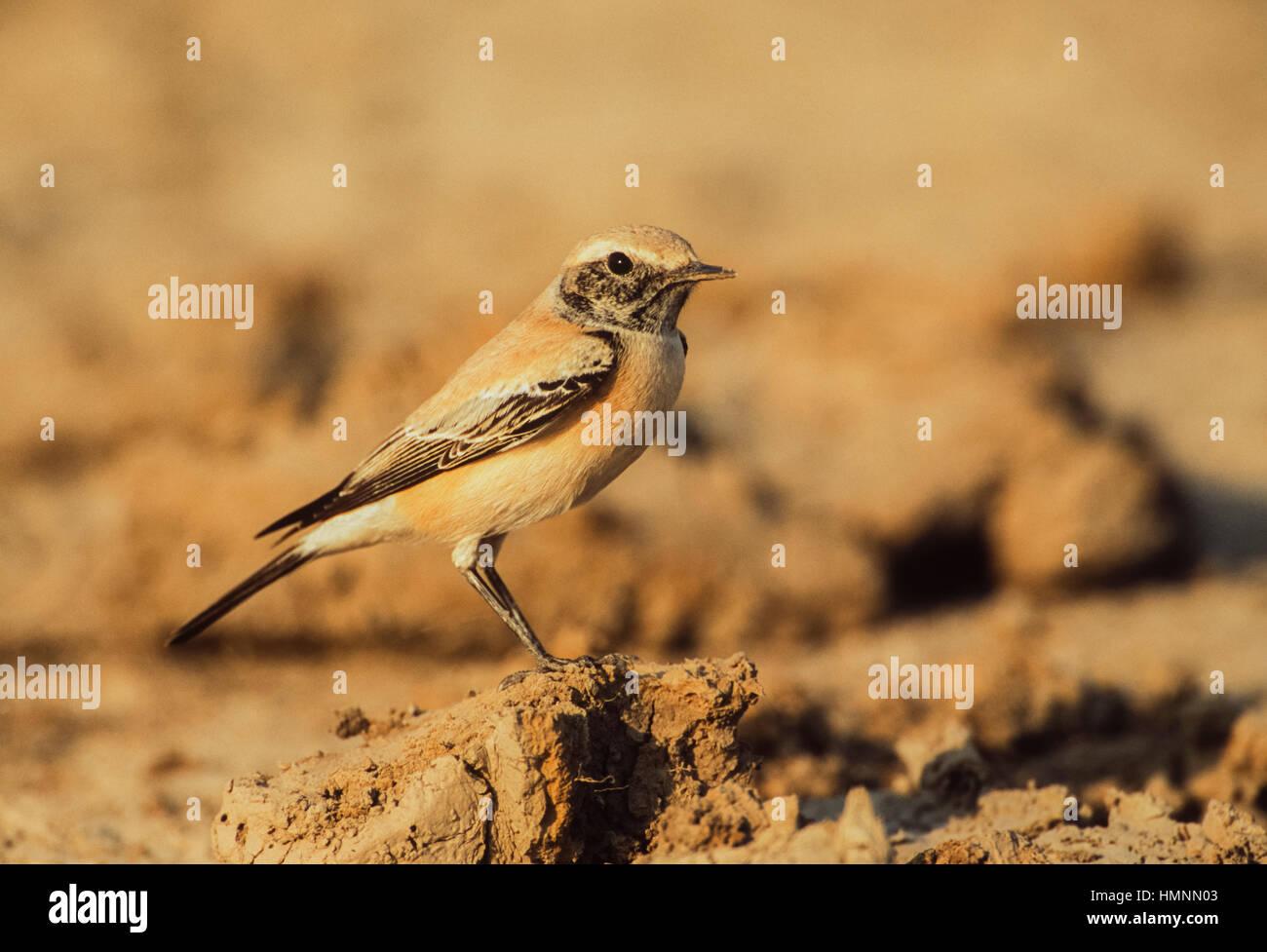 Desert Wheatear, (Oenanthe deserti), male bird with non-breeding plumage, Velavadar National Park,Velavadar,Gujarat,India - Stock Image