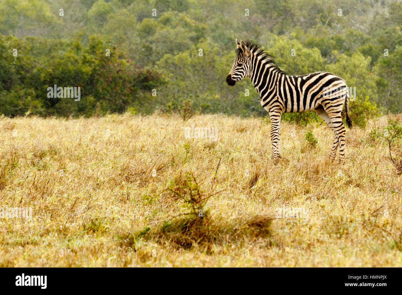 Baby Zebra standing in the field of grass. - Stock Image