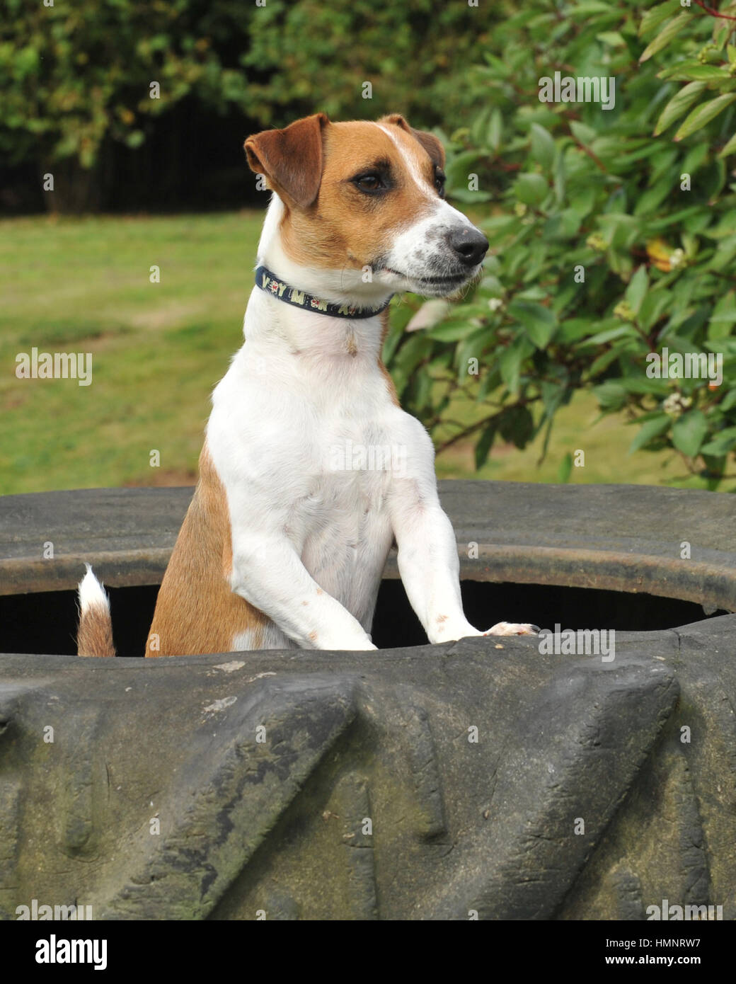 Jack Russell Terrier Undocked Tail High Resolution Stock Photography And Images Alamy