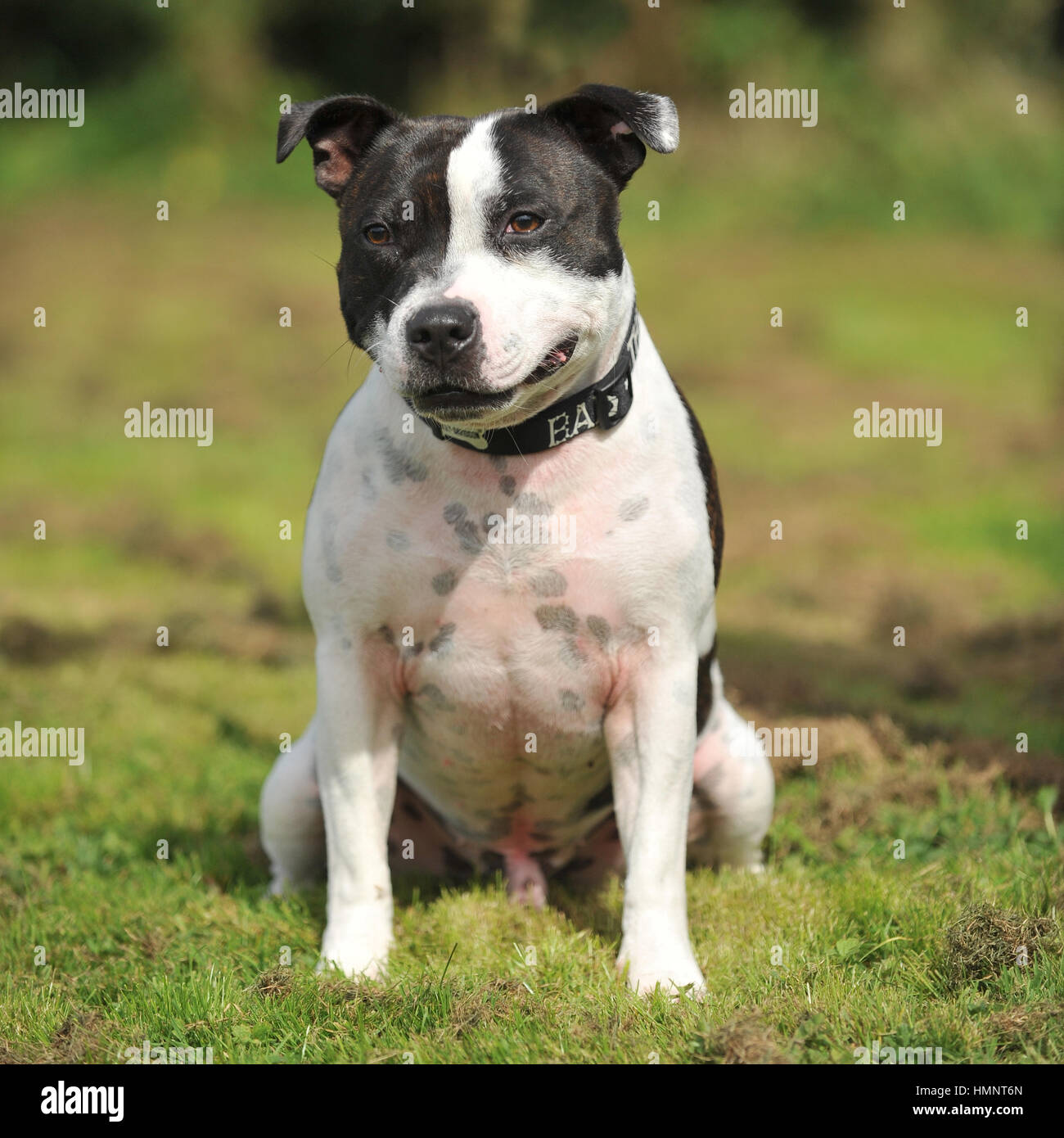 stafordshire bull terrier - Stock Image