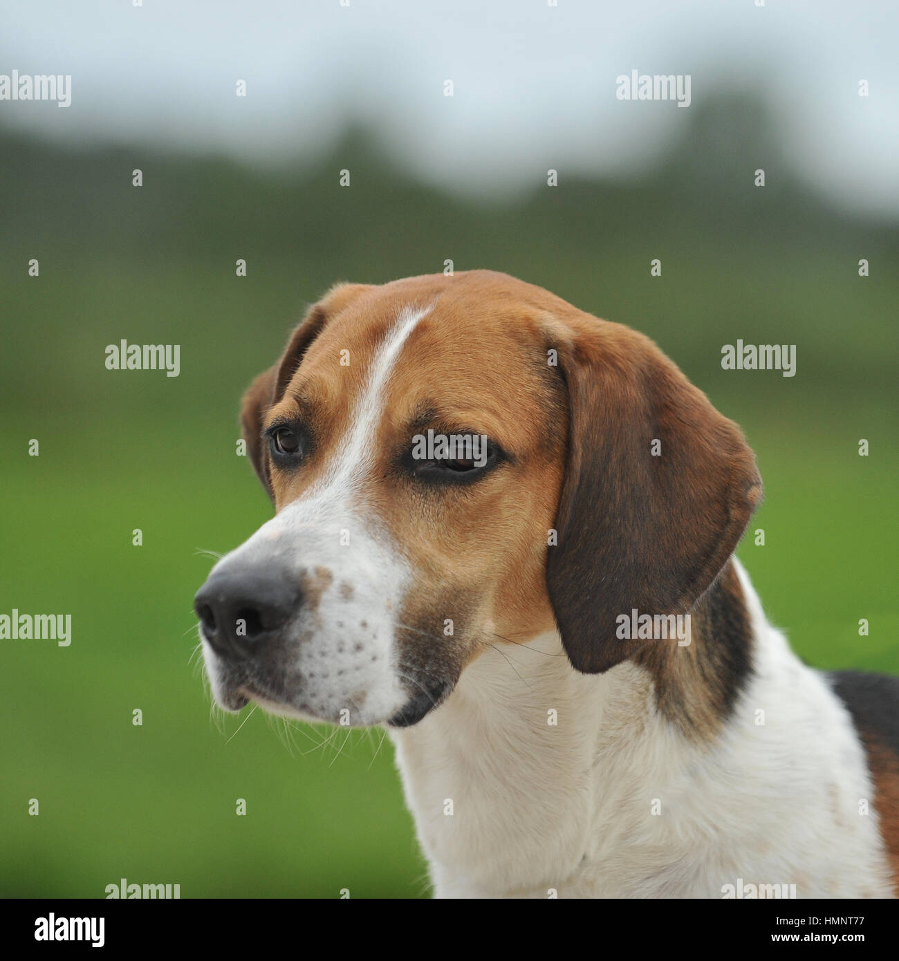 english foxhound - Stock Image