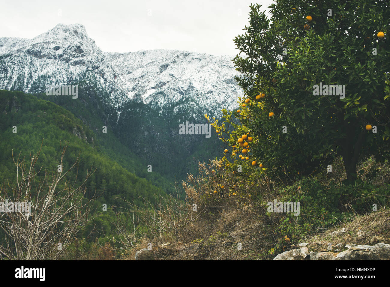Trees with oranges in mountain garden and snowy peaks - Stock Image