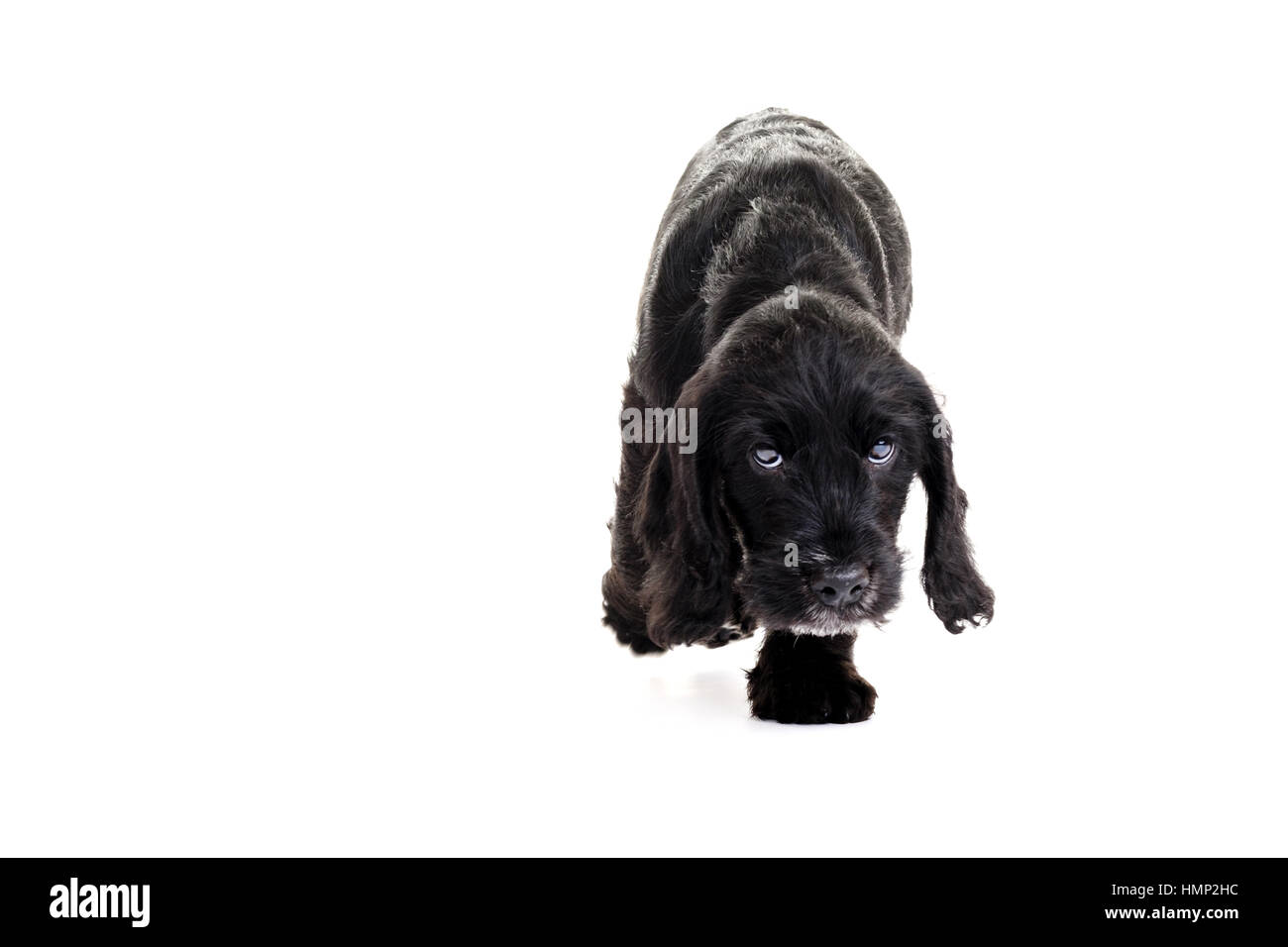 A studio shot of a cute Cockapoo, eight week old puppy taken against a plain white background - Stock Image
