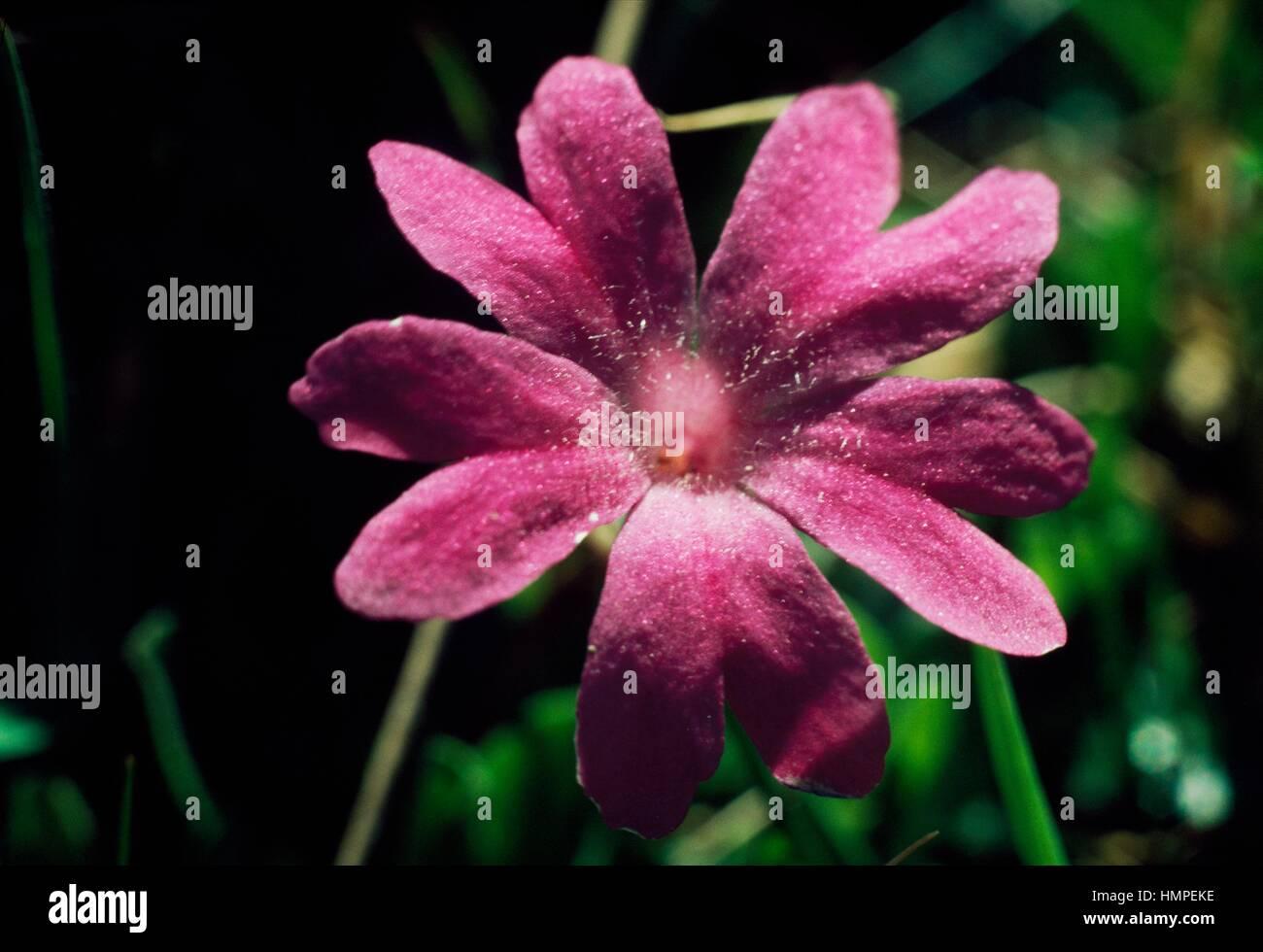 Entire leaved primrose (Primula integrifolia), Primulaceae. - Stock Image