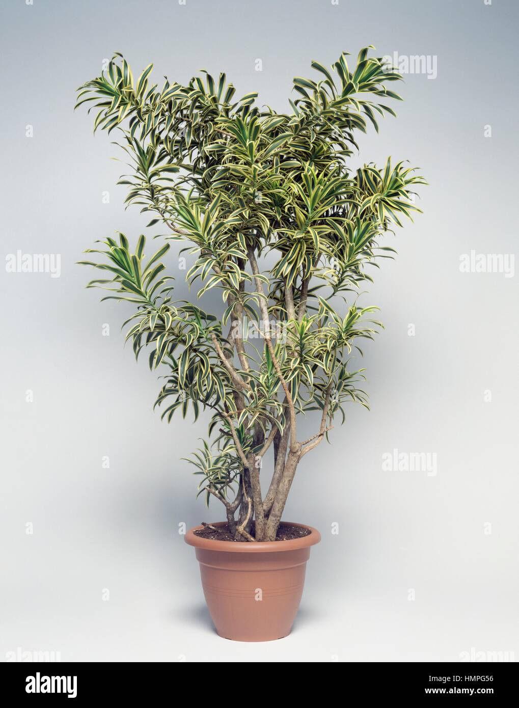Pleomele Or Song Of India Dracaena Reflexa Asparagaceae Stock Photo Alamy