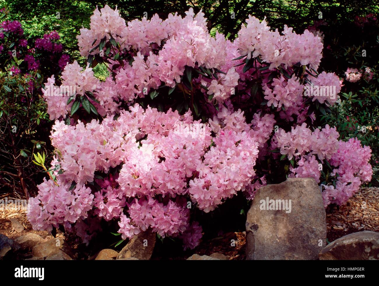 Rhododendron (Rhododendron Mrs EC Stirling), Ericaceae. - Stock Image