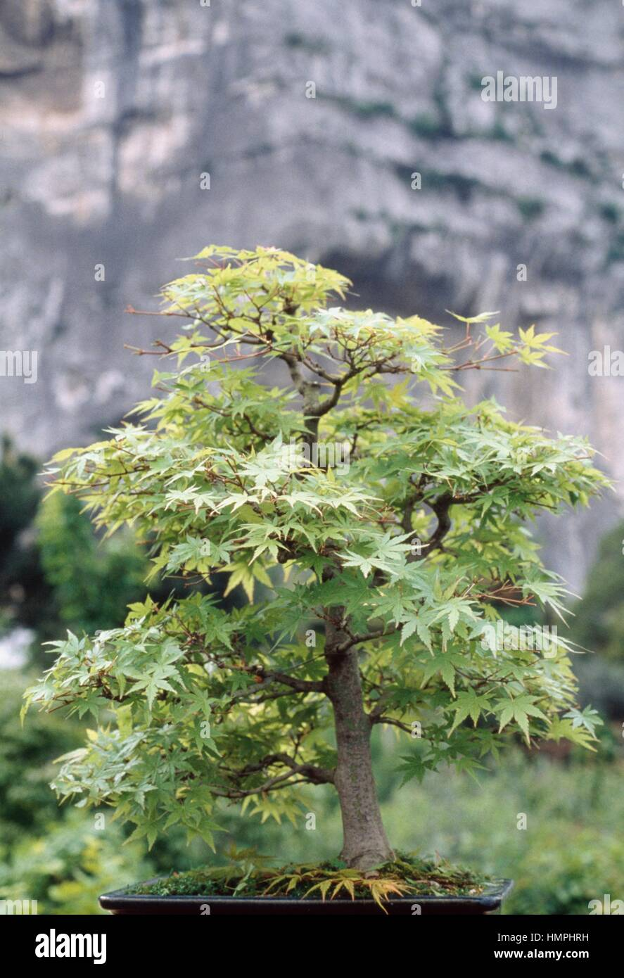 Japanese Maple Bonsai Acer Palmatum Aceraceae After Defoliation Stock Photo Alamy