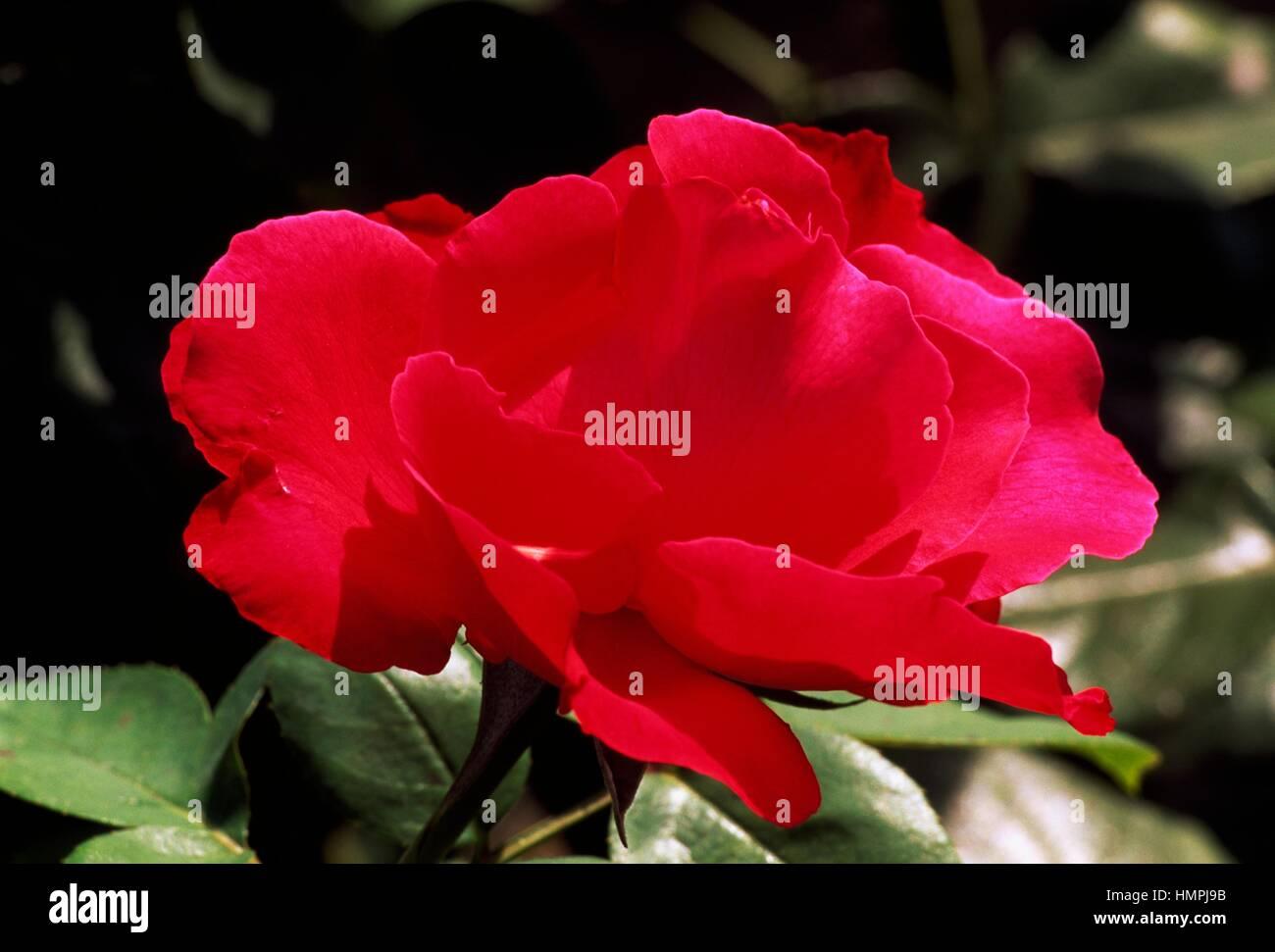Rose (Rosa Crepe de Chine), Rosaceae. - Stock Image