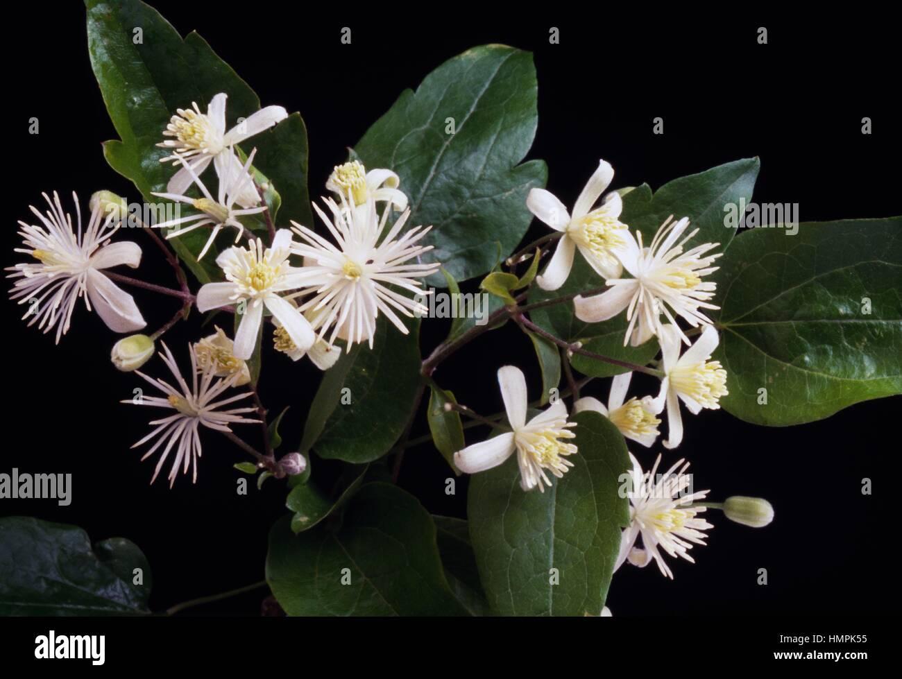 Flowering Old man's beard or Traveller's joy (Clematis vitalba), Ranunculaceae. - Stock Image