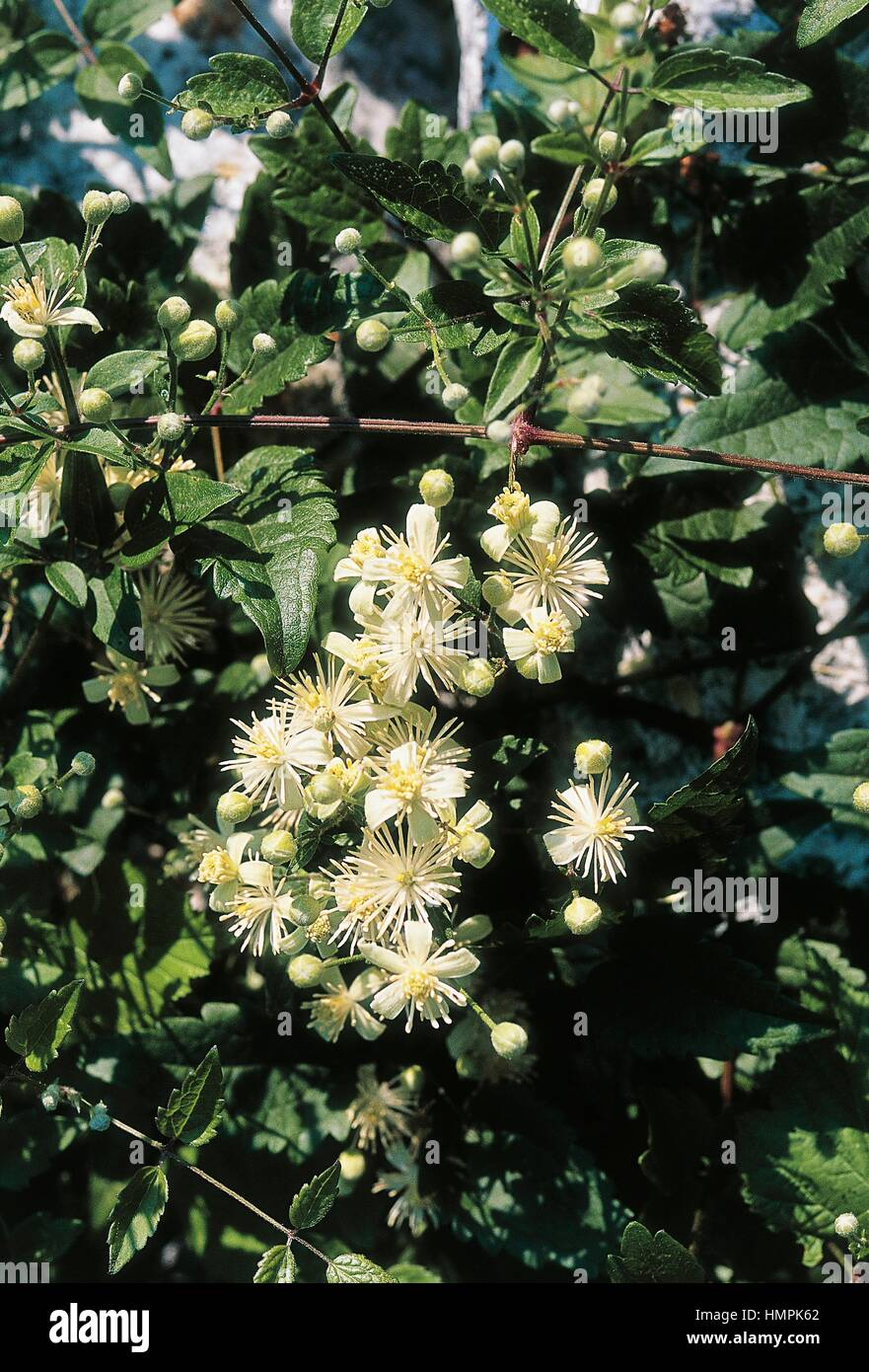 Old man's beard or Traveller's joy (Clematis vitalba), Ranunculaceae. - Stock Image