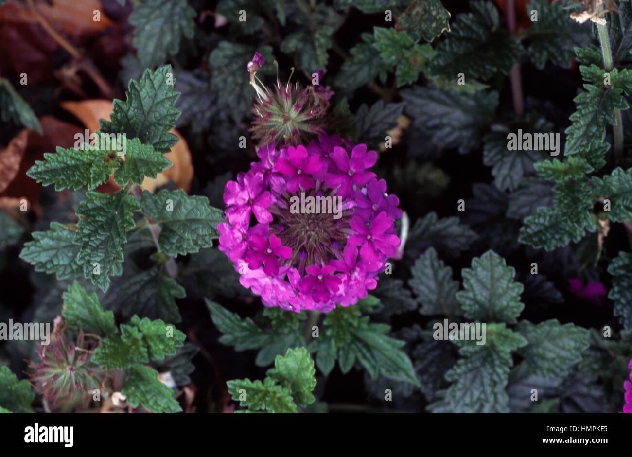 Homestead purple, Vervain, Verbenaceae. - Stock Image
