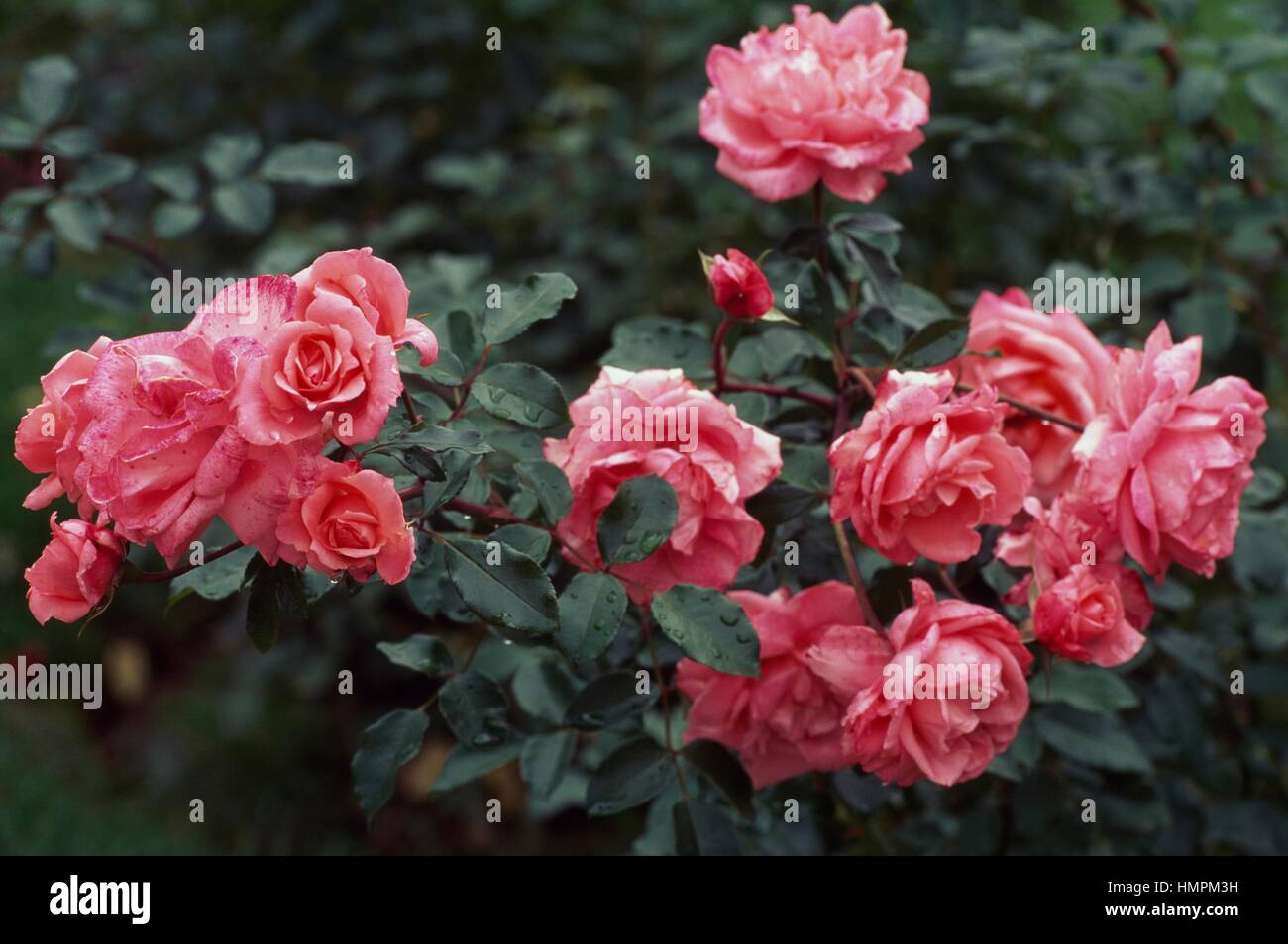 Pink Claire rose, Rosaceae. - Stock Image