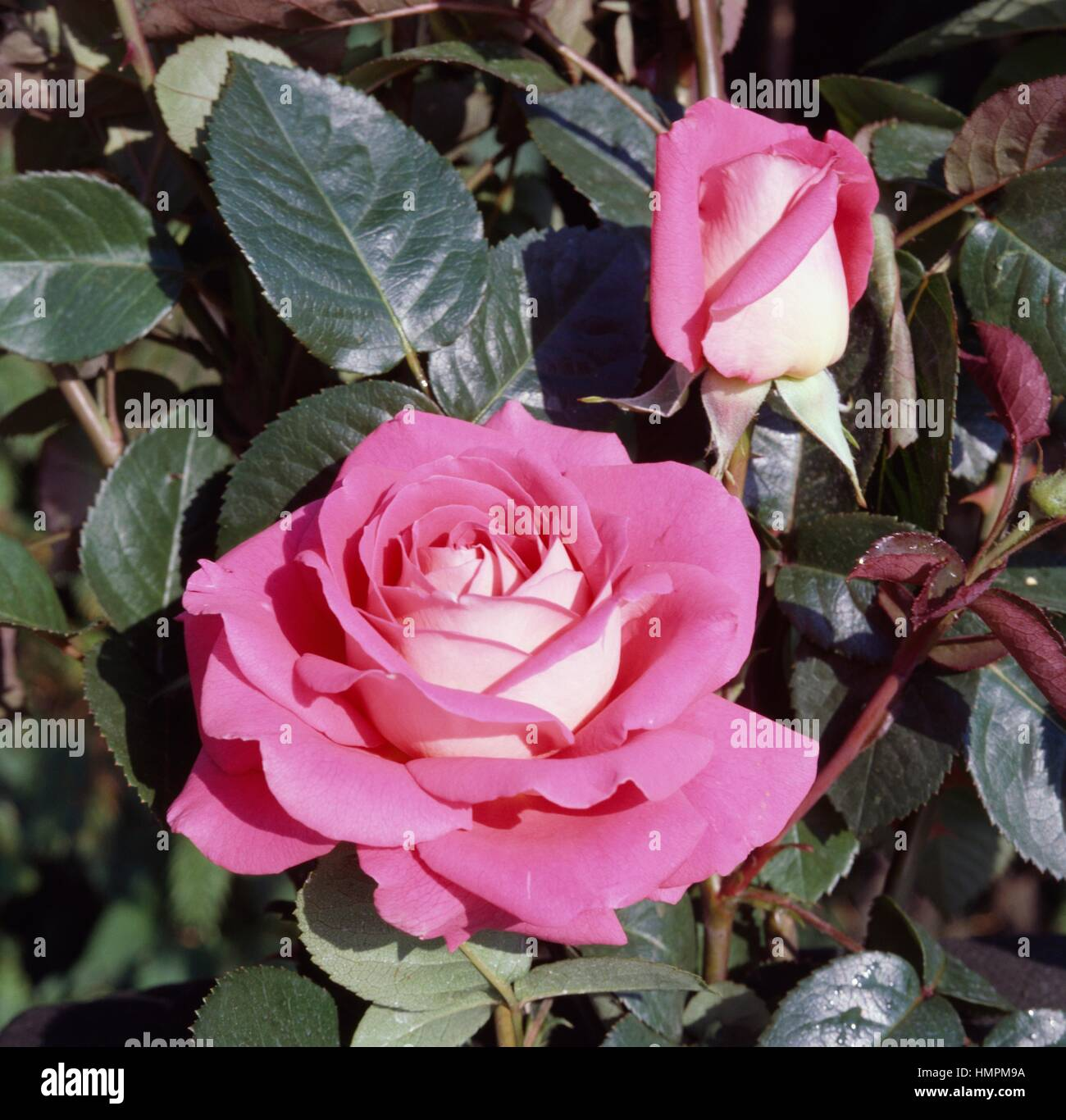 Ornella Muti rose, Rosaceae. Stock Photo