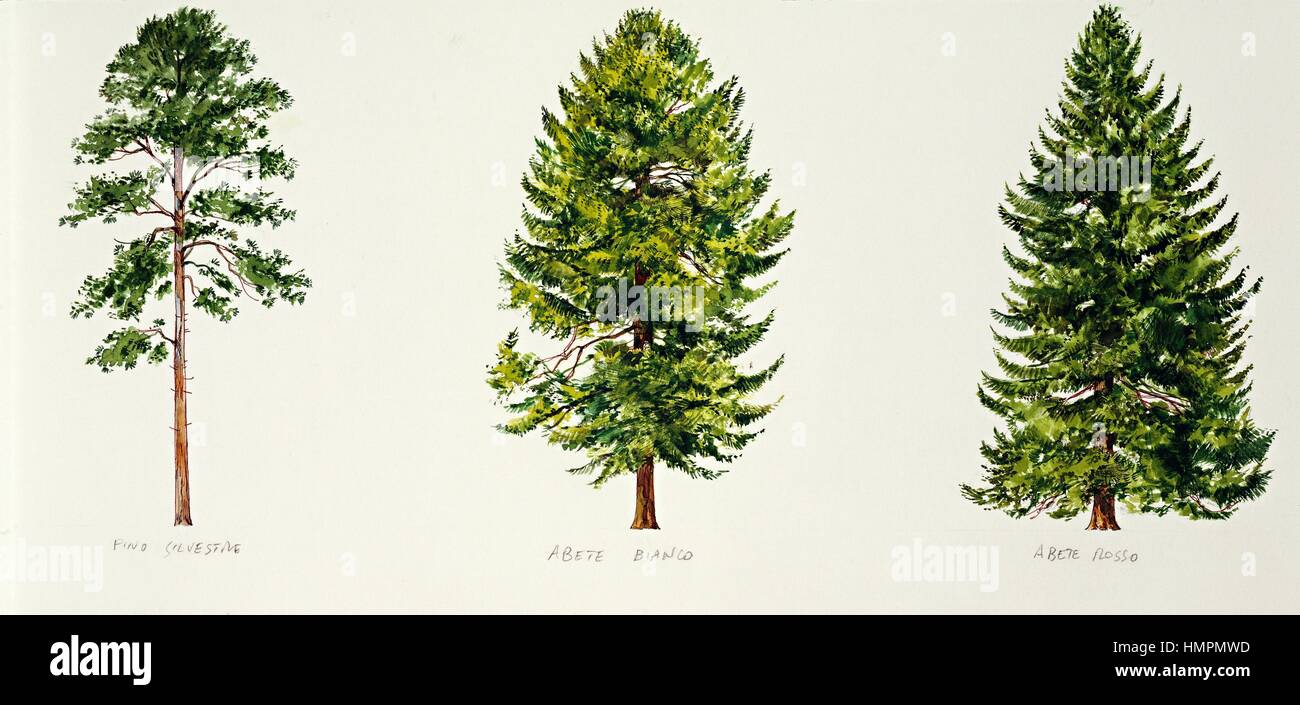 botany trees scots pine pinus sylvestris european silver fir stock photo 133265033 alamy. Black Bedroom Furniture Sets. Home Design Ideas