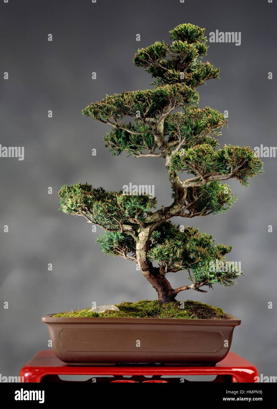 Eastern Red Cedar Or Eastern Juniper Bonsai Juniperus Virginiana Stock Photo Alamy