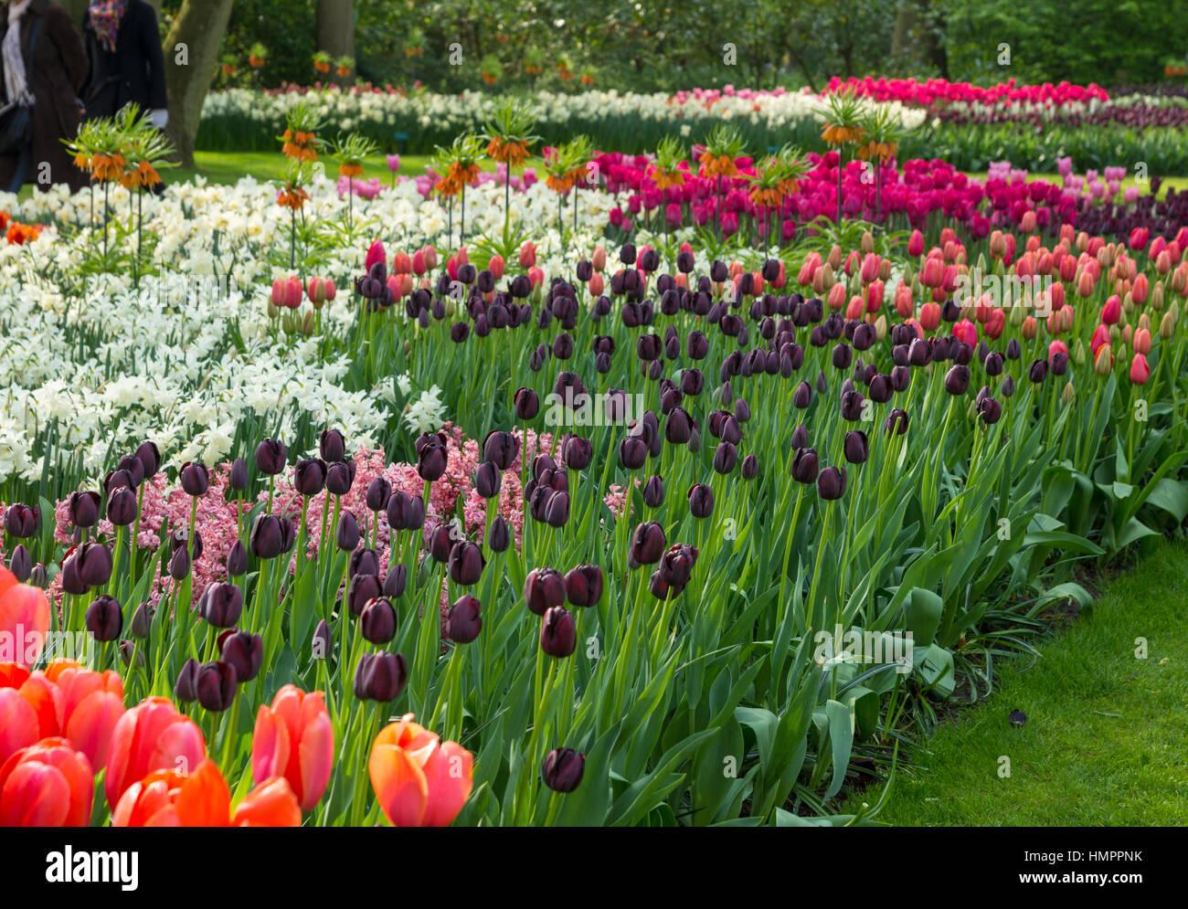Blooming flowers in Keukenhof park in the Netherlands - Stock Image