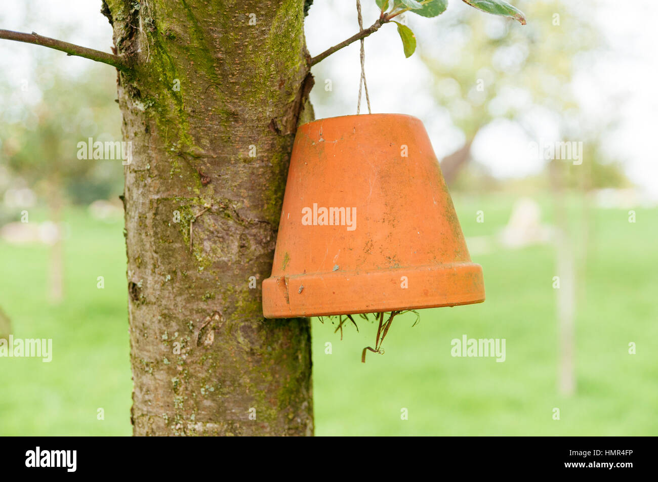 Old pot as shelter in a tree for European earwigs, a very useful beneficial insect, predating on a wide range of - Stock Image