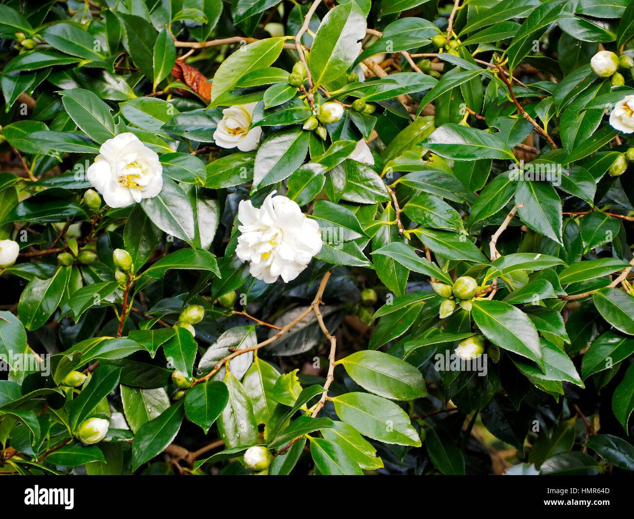 Camellia white empress provides winter colour the flowers stock camellia white empress provides winter colour the flowers contrasting strongly with the dark green waxy leaves mightylinksfo
