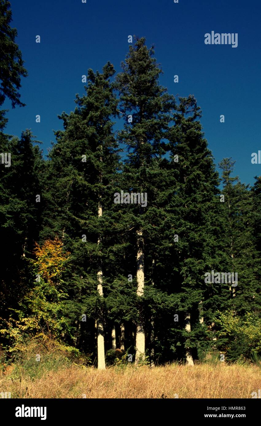 European silver fir specimens (Abies alba), Pinaceae. Casentinesi Forests Falterona Mount and Campigna National - Stock Image