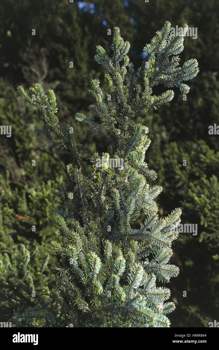 Botany - Pinaceae. Silver fir (Abies alba), Needles. Mount Falterona, Campigna and Casentino forests National Park, - Stock Image
