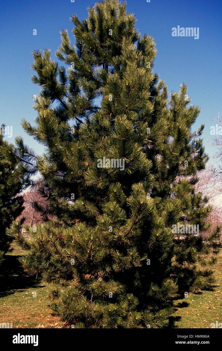 Swiss pine or Arolla pine (Pinus cembra), Pinaceae. - Stock Image