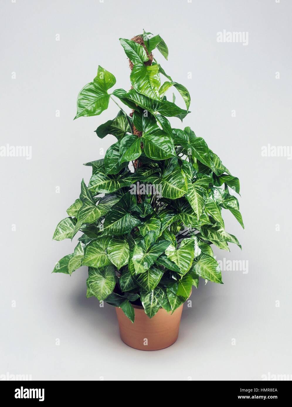 American evergreen or Goosefoot (Syngonium podophyllum White ... on