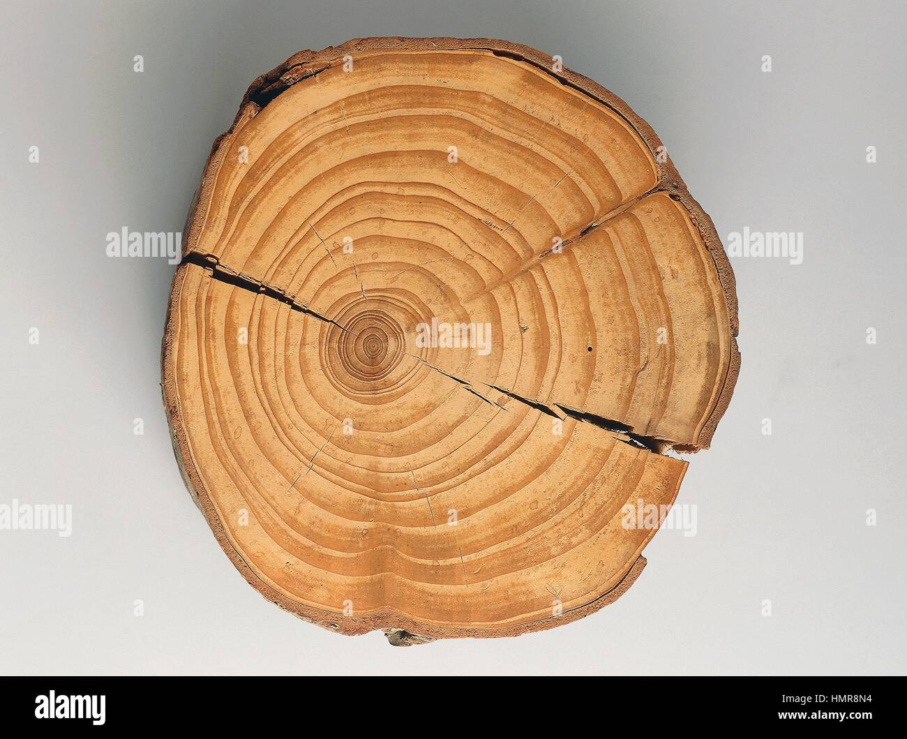 Cross section of a Silver Fir or European Silver Fir trunk (Abies alba), fossil, Pinaceae. - Stock Image